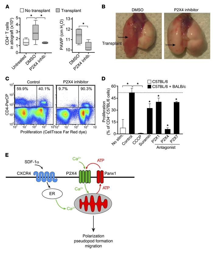 Inhibition of purinergic signaling prevents T cell recruitment in vivo. ...