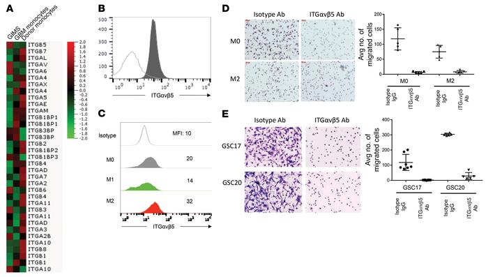 GSC OPN–mediated migration of GIMs requires ITGαvβ5. (A) An integrin exp...