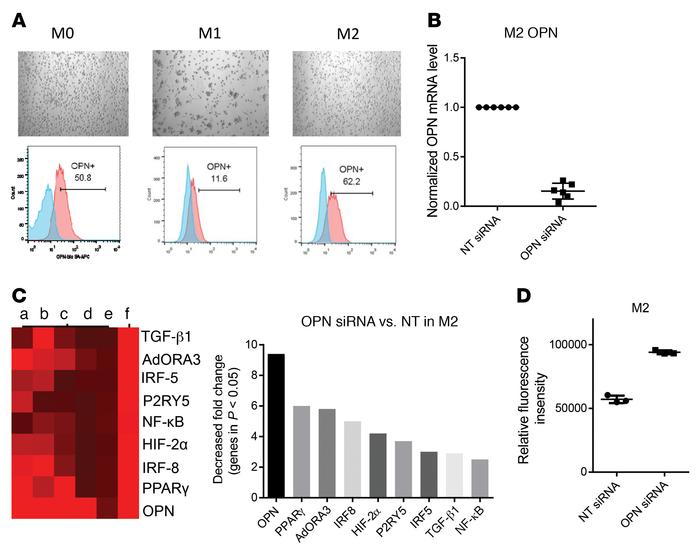 OPN is required for M2 polarization maintenance. (A) CD14+ monocytes wer...