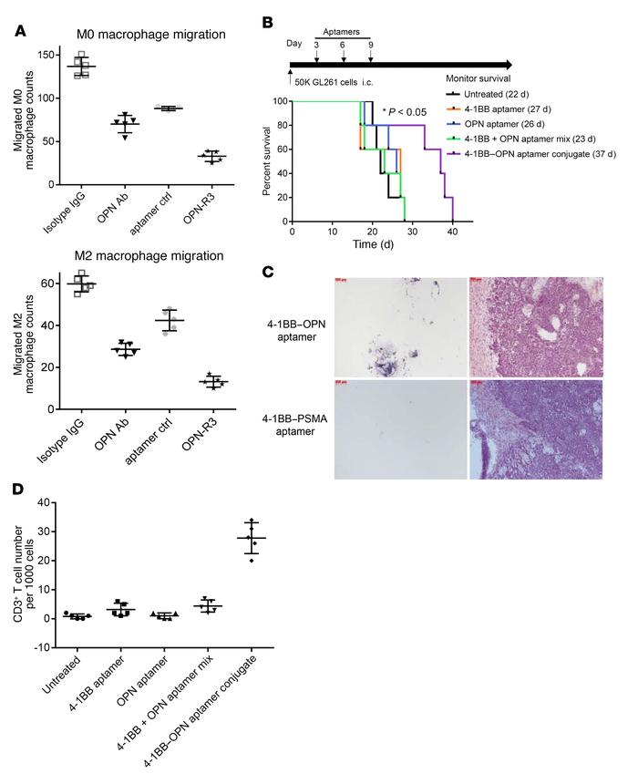 OPN expression can be exploited for therapeutic targeting. (A) Transwell...