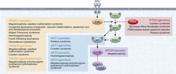 The classic PTEN pathway and associated PTEN-opathies. The PTEN-opathies...