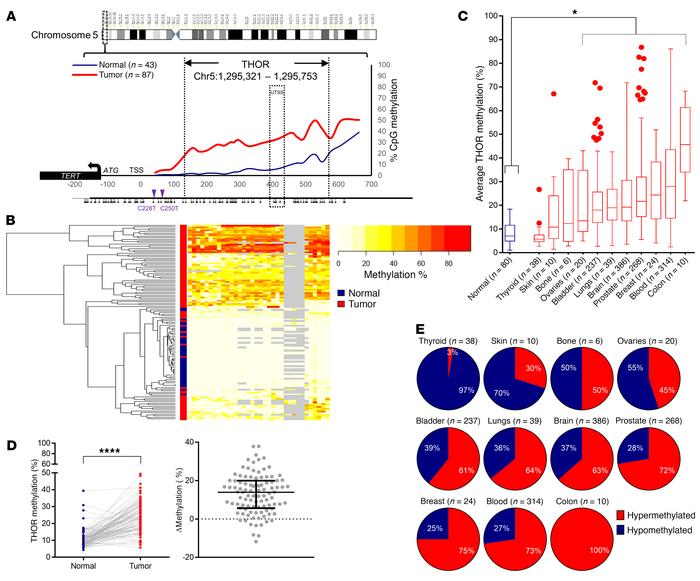 THOR hypermethylation is prevalent in human cancers. (A) Average DNA CpG...