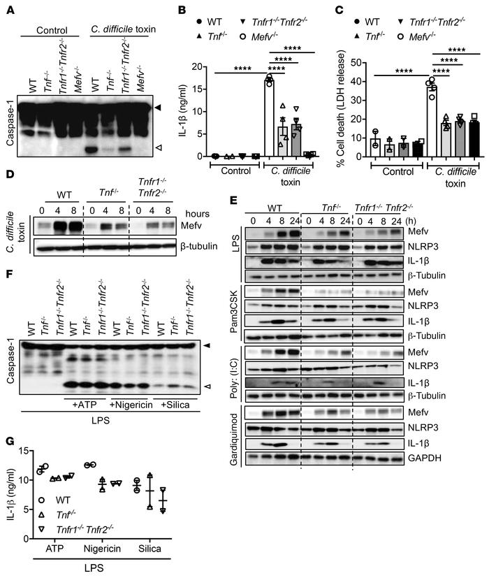 TNF signaling promotes pyrin expression and inflammasome activation. (A)...