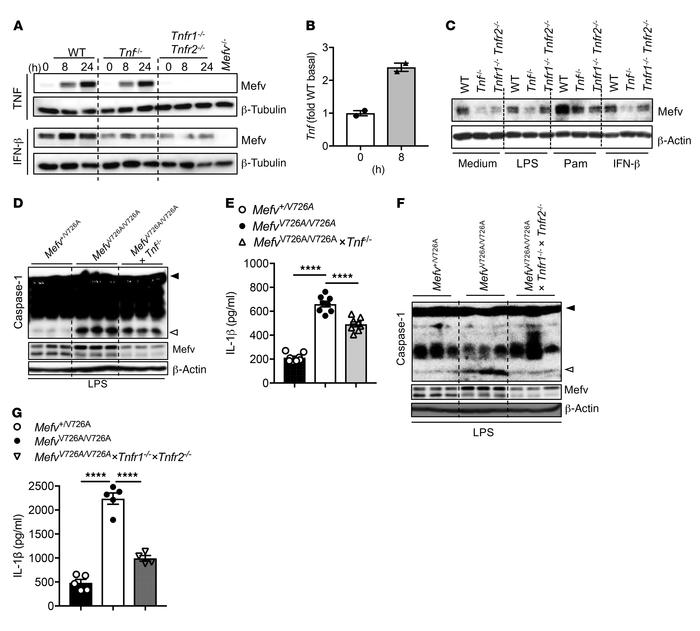 Pyrin activation observed in MefvV726A/V726A monocytes is promoted by TN...
