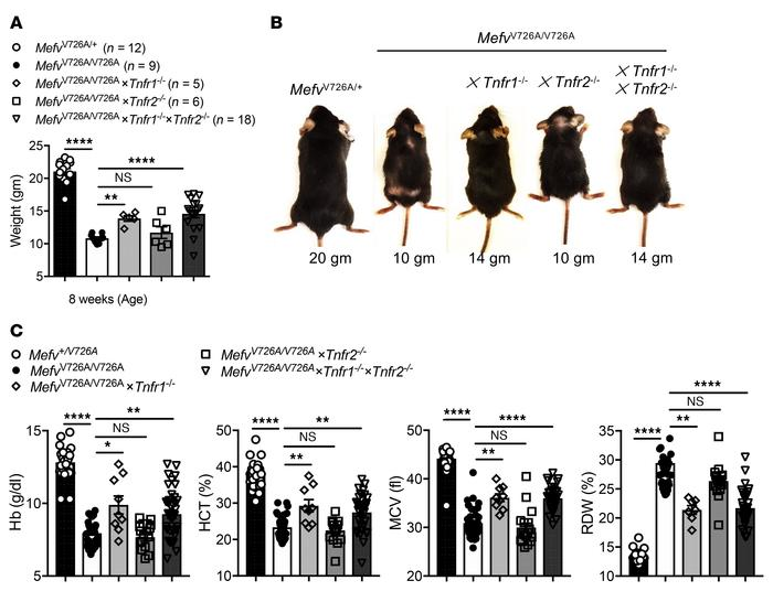 TNFR1 signaling promotes runting and anemia in MefvV726A/V726A mice. (A)...