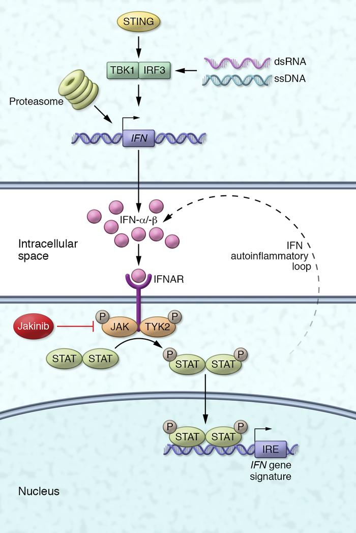 Disease mechanisms and new therapeutic strategy for the interferonopathi...