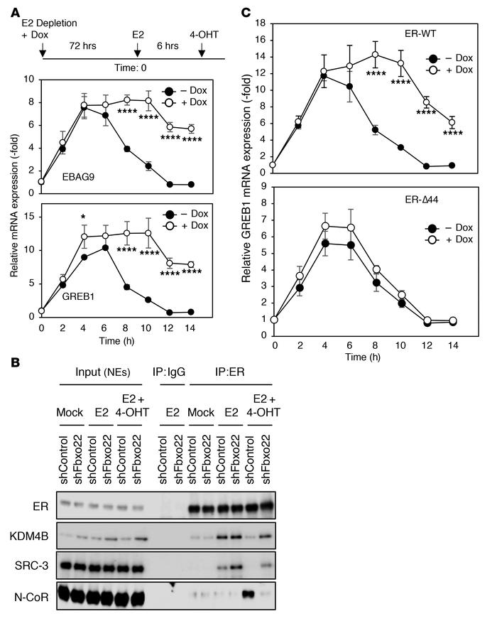Antagonistic activity of 4-OHT requires Fbxo22 via AF1 activity in MCF7 ...