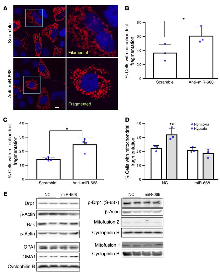 miR-668 protects against mitochondrial fragmentation during renal cell s...