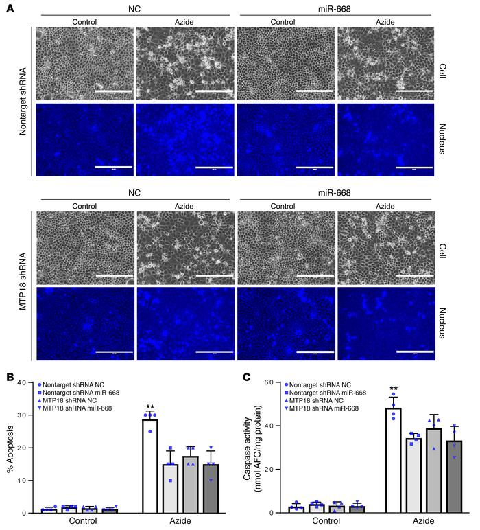 The protective effect of miR-668 is lost in MTP18-knockdown renal tubula...