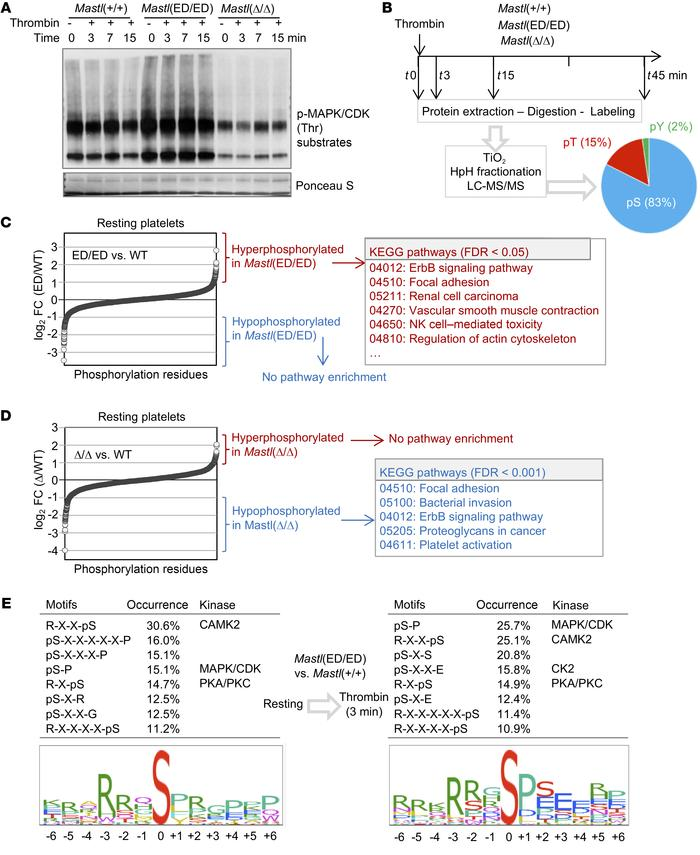 Phosphoproteomic analysis in Mastl-mutant platelets. (A) Levels of p-MAP...