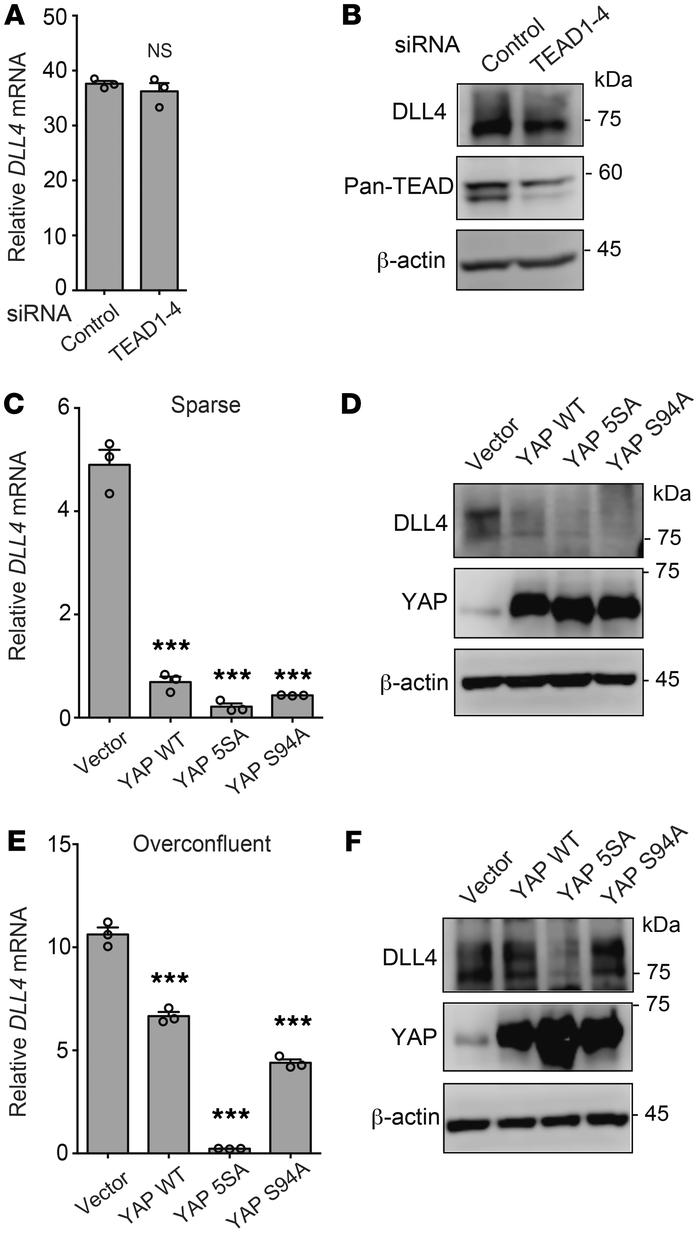 Nuclear YAP suppresses DLL4 expression in a TEAD-independent manner. (A ...
