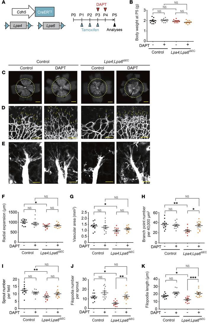 A Notch inhibitor ameliorates impaired retinal angiogenesis due to endot...