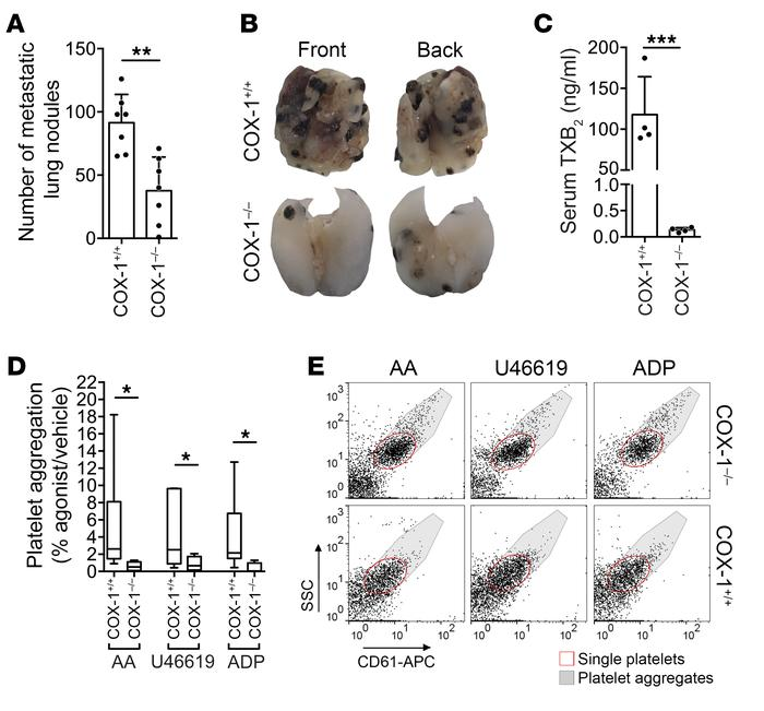 COX-1 deficiency decreases experimental lung metastasis. (A and B) B16F1...