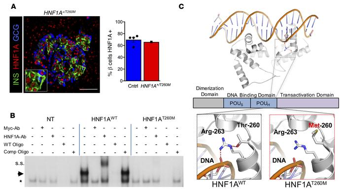 Expression and functional characterization of HNF1AT260M variant. (A) An...