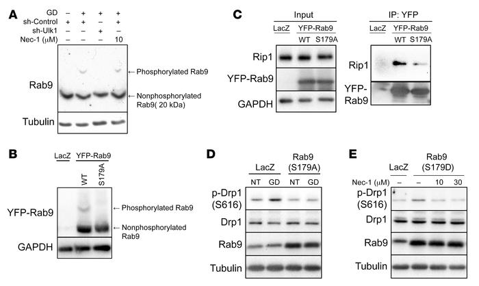 Ulk1 directly phosphorylates Rab9 at S179, inducing mitochondrial fissio...