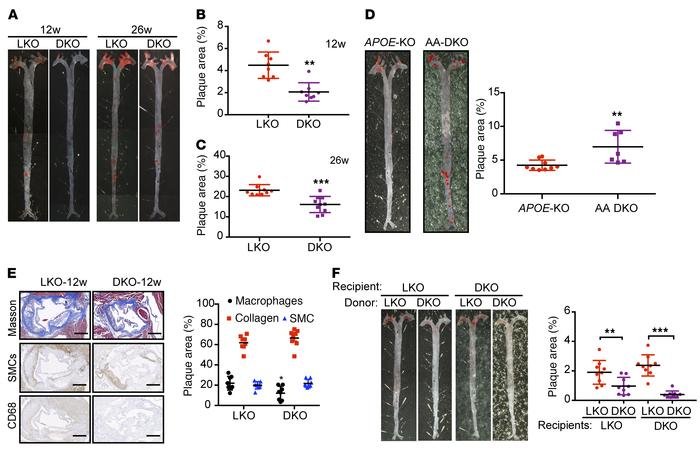 ALDH2-KO decreases areas of atherosclerotic plaque in LDLR-KO background...
