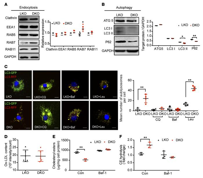 LDLR/ALDH2-DKO leads to increased macrophage endocytosis, autophagy, an...