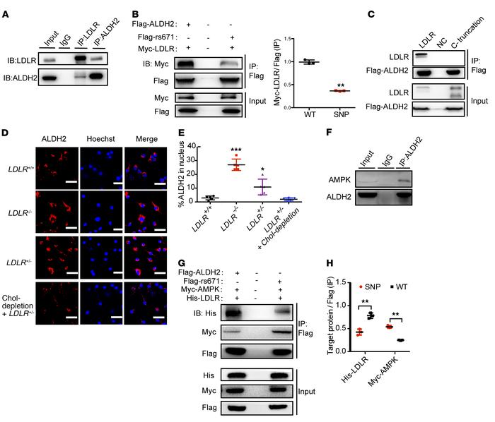 LDLR inhibits but ALDH2 rs671 mutant increases nuclear translocation of ...