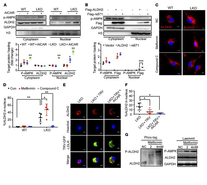 AMPK phosphorylates ALDH2 and promotes ALDH2 translocation in the absenc...