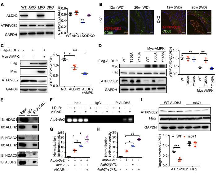 Nuclear translocated ALDH2 regulates the transcription of ATP6V0E2, a cr...