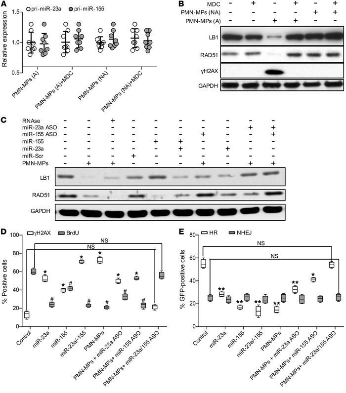 PMN-MP–derived miR-23a and miR-155 induce downregulation of RAD51 and LB...