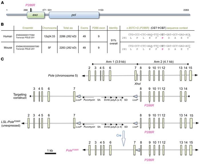 Generation of the LSL-PoleP286R conditional knockin allele. (A) POLE pro...
