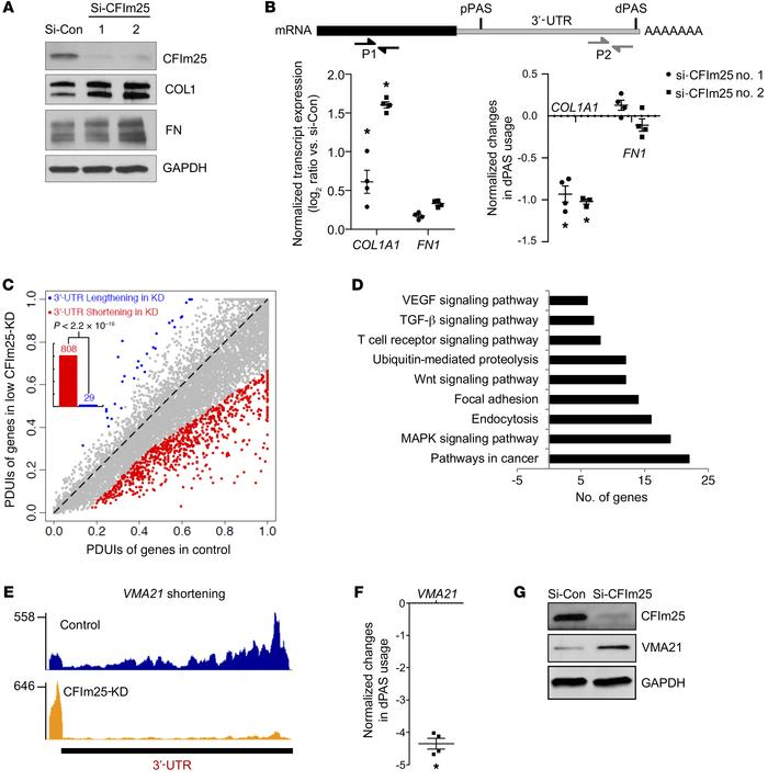 RNA-Seq identifies CFIm25 target genes involved in important fibrotic an...