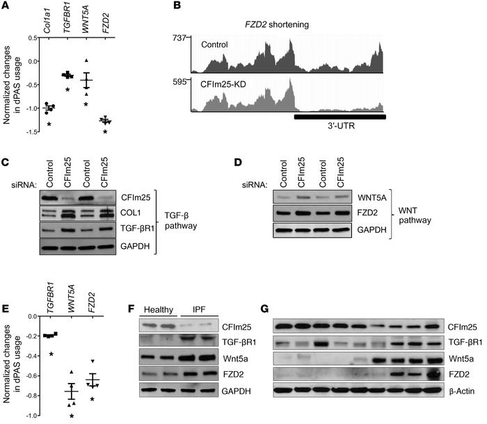 TGF-β and Wnt5A pathways are activated in CFIm25-knockdown fibroblasts. ...