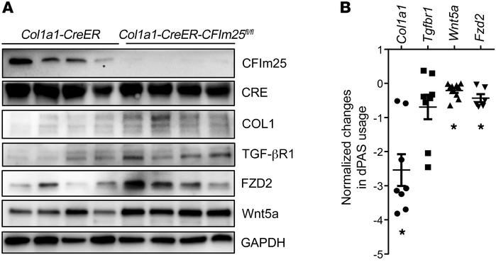 Expression of CFIm25 and its targets in lung fibroblasts isolated from C...