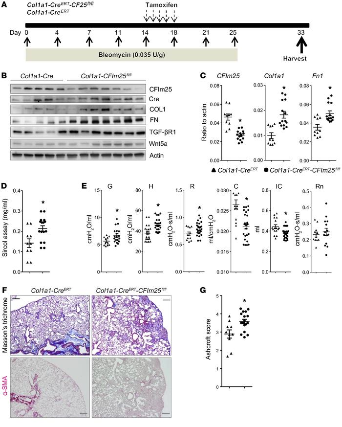 Bleomycin-induced fibrosis is elevated in Col1a1-CreER-CFIm25fl/fl mice ...