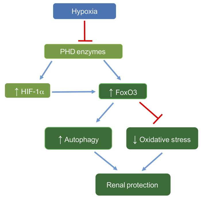 Proposed mechanism of hypoxia-induced FoxO3 activation, leading to renal...