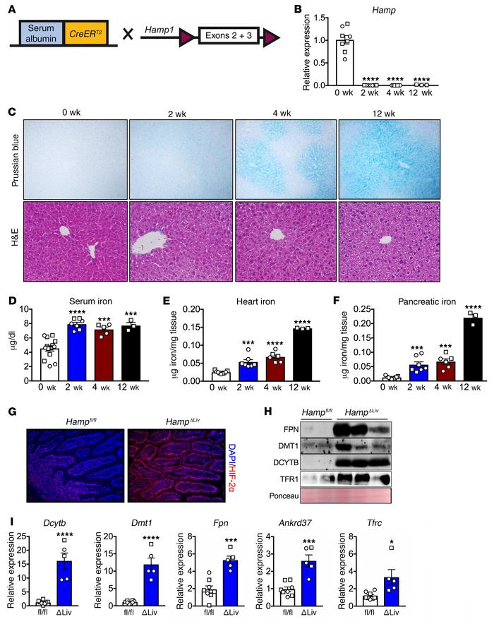 Temporal disruption of hepatic hepcidin activates intestinal HIF-2α and ...