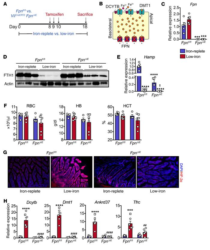 Intestinal epithelial FPN is necessary for the activation of intestinal ...