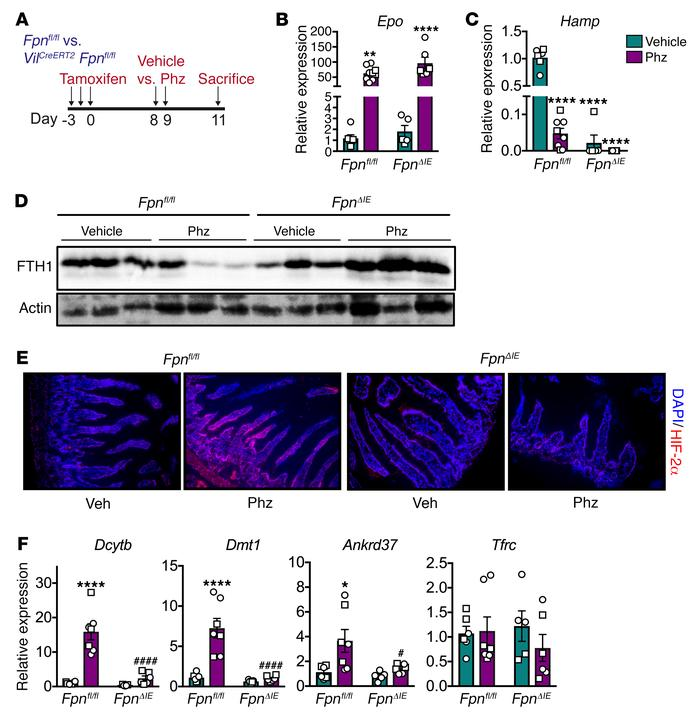 Deletion of intestinal epithelial FPN blocks the intestinal HIF-2α respo...