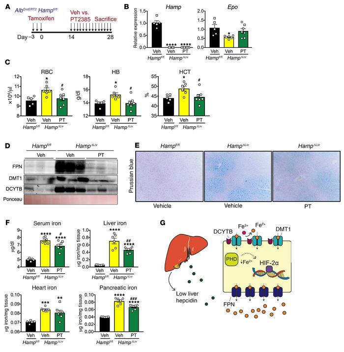 Inhibition of HIF-2α using PT2385 reverses iron accumulation in multiple...