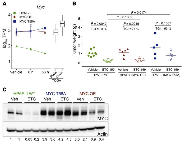 Stabilized MYC partially reverses the effects of Wnt inhibition. (A) Exp...