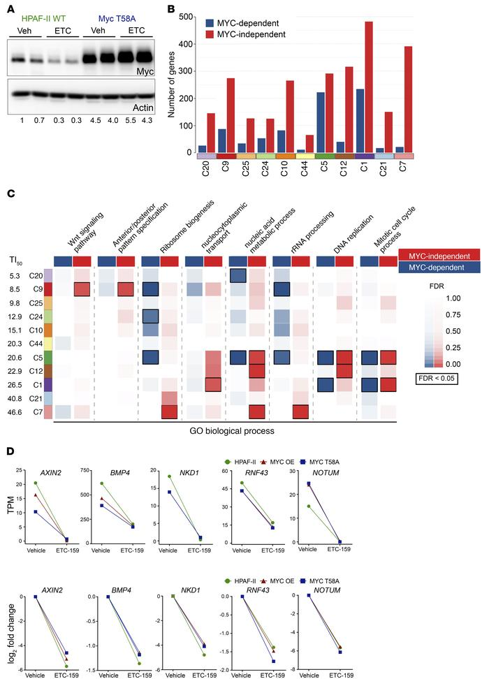 The majority of early responding Wnt-activated genes are MYC independent...