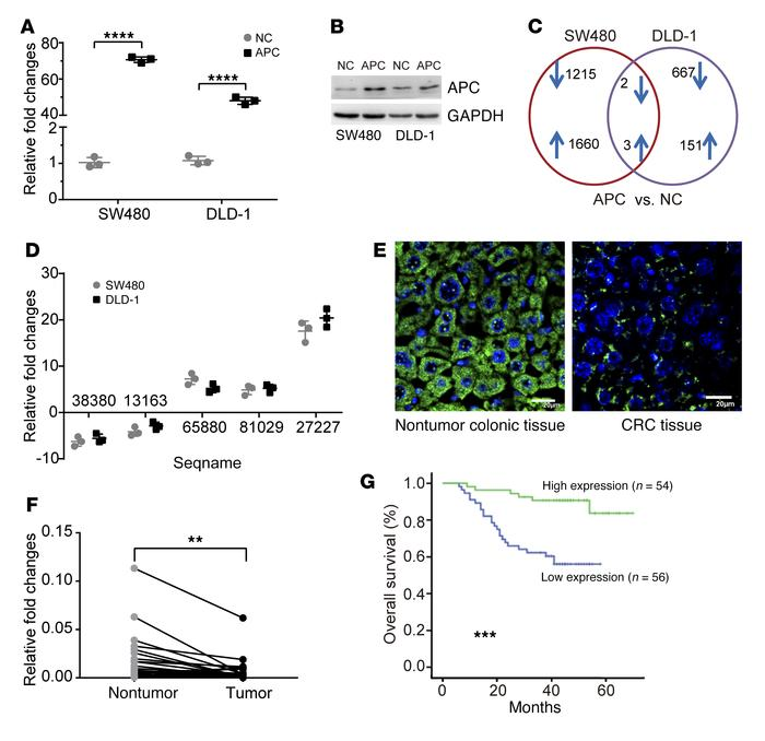 Upregulation of lncRNA-APC1 by APC. Expression of APC in the indicated c...