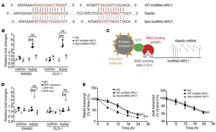 In CRC cells, lncRNA-APC1 interacts with and reduces the stability of Ra...