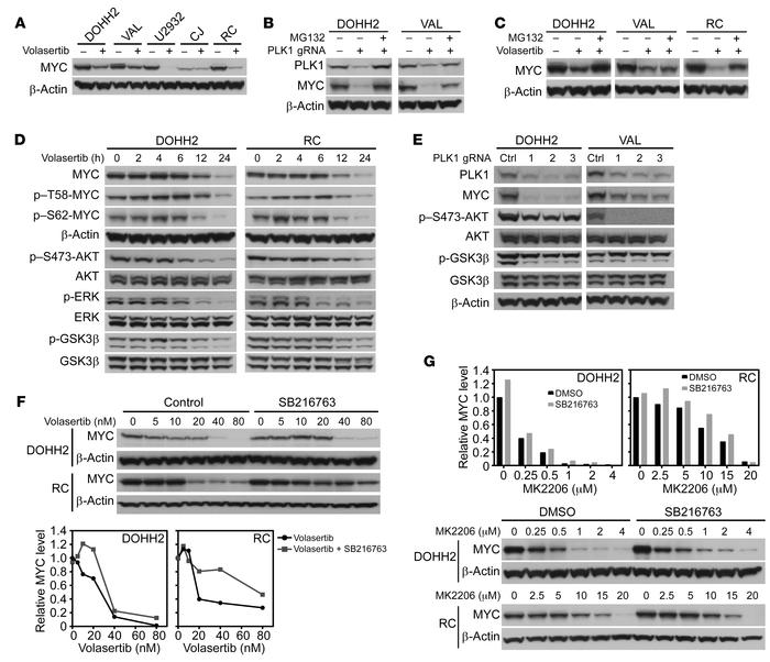 PLK1 sustains MYC protein stability by activating an AKT-GSK3β circuit. ...