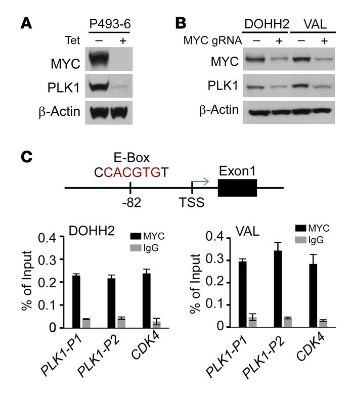 MYC activates PLK1 transcription in DHL. (A) PLK1 protein levels are dep...