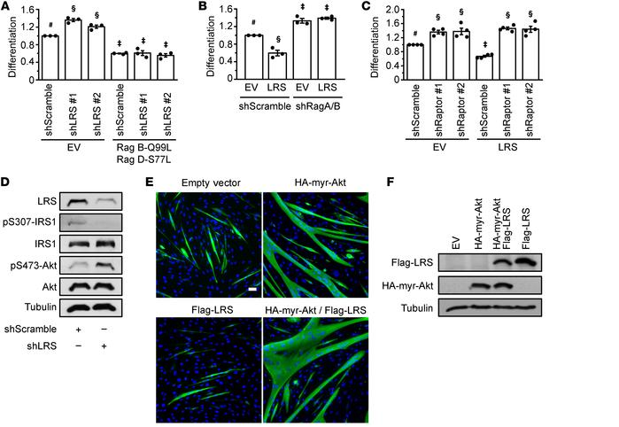 LRS inhibits myogenic differentiation through the Rag-mTORC1 pathway. (A...