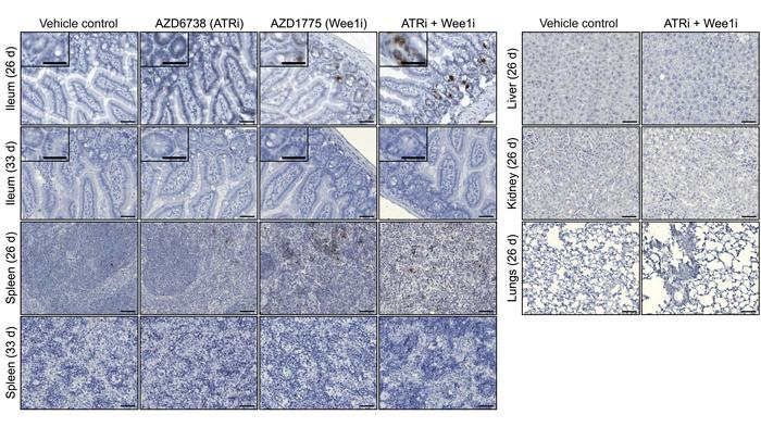 Evaluation of normal tissue DNA damage. Tissues from tumor-bearing NSG m...