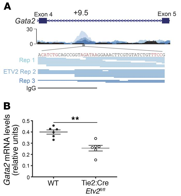 Evidence for an ETV2/GATA-2 regenerative axis. (A) ETV2 ChIP-Seq. ETV2 o...