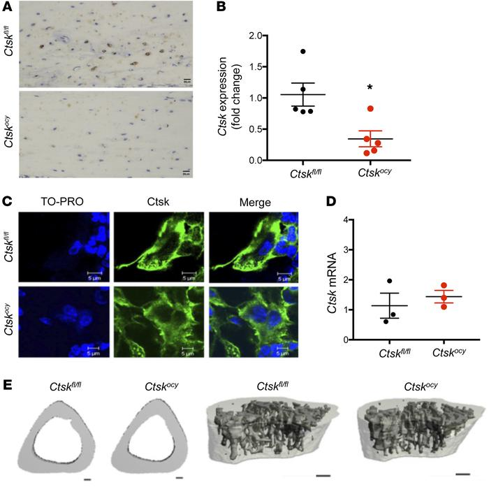 Normal skeletal homeostasis in mice with osteocyte-specific deletion of ...