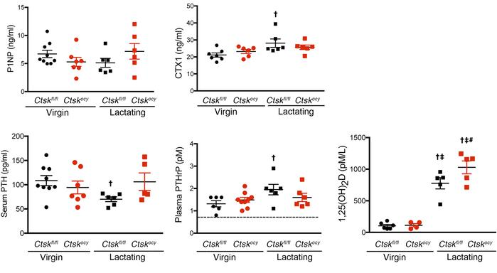 Deletion of Ctsk in osteocytes affects serum hormone and CTX1 levels. P1...
