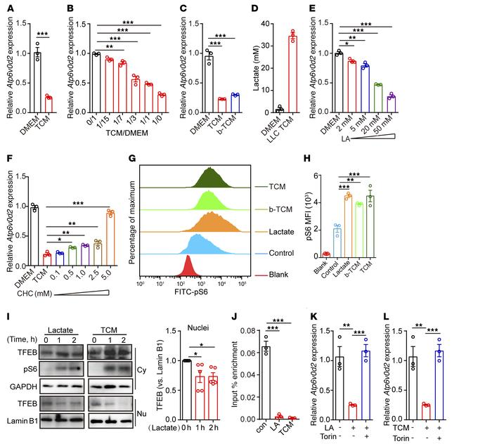 Lactate activates mTORC1 signaling to suppress Atp6v0d2 expression in ma...