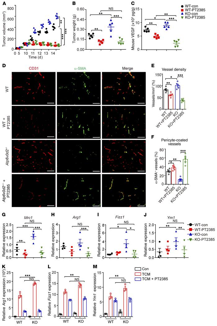 Suppression of HIF-2α activity reverses the enhanced tumorigenesis in At...
