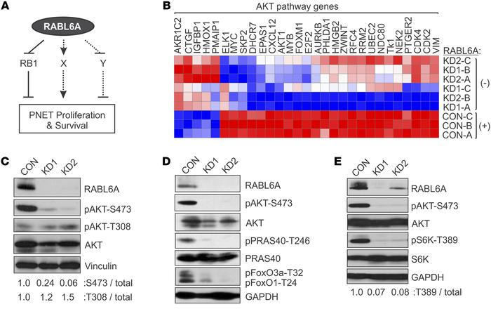 RABL6A depletion impairs AKT-S473 phosphorylation and AKT-mTOR signaling...