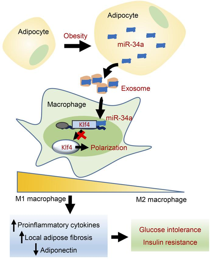 Schematic summary of the role of adipocyte-secreted exosomal miR-34a in ...